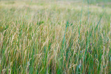 Beautiful steppe grass background, texture for design, summer day Imagens - 151461464