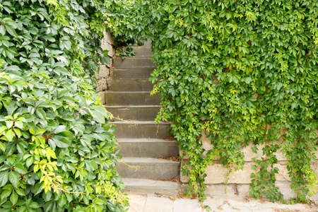 Stairs overgrown with clusters of green wild grapes.