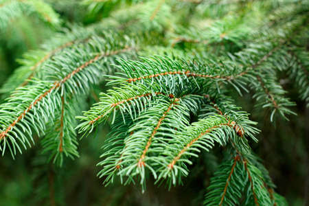 Green spruce branches as a background.