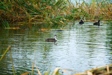 A flock of wild ducks swims through labor.
