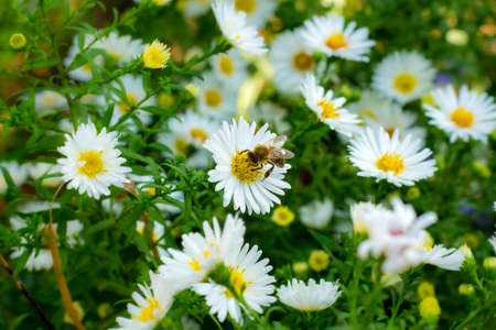 Bee collecting pollen on a small white daisy Imagens - 154855938
