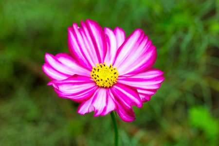 Pink cosme flower close up on natural background 版權商用圖片
