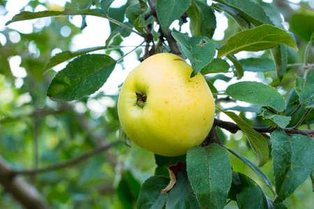 Tasty ripe juicy quince fruit on a branch 版權商用圖片