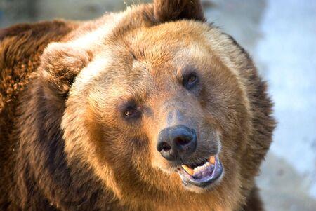 omnivore animal: brown bear