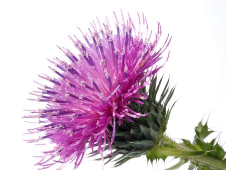 thistles: the Cotton Thistle flower isolated on white