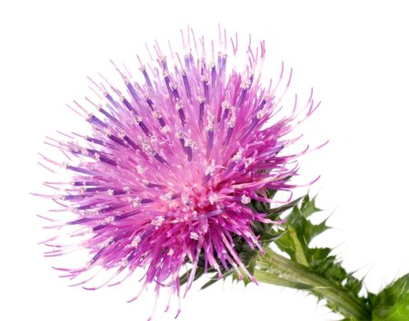 the Cotton Thistle flower isolated on white photo