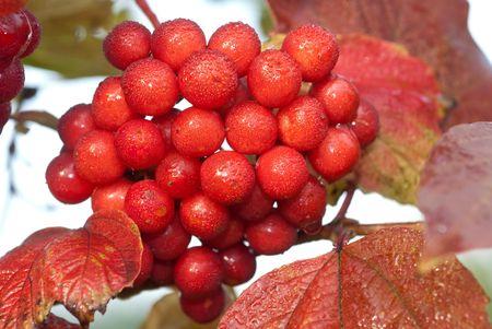 bunchy: mont�n de ashberries maduras en rama verde