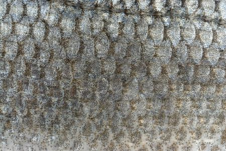fish scales background Stock Photo - 6209850