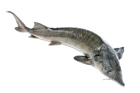 sturgeon: Raw sturgeon isolated on white Stock Photo