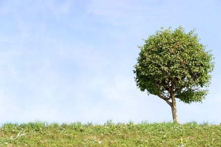 lonely tree with blue sky and green grass  photo