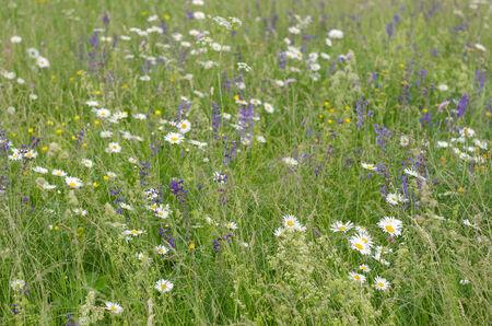 meadow  grass: close up de pradera de c�sped y flores