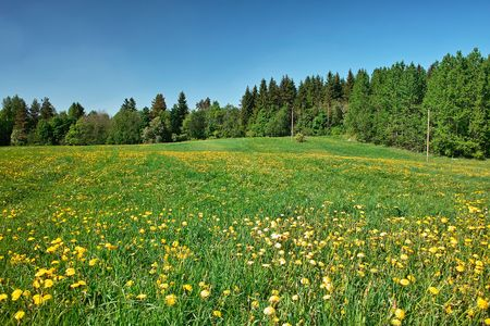 Grassland. Green meadow with blossoming dandelions, bordered by forest