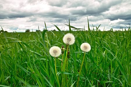 Dandelion blowballs in the grass under dramatical cloudy sky