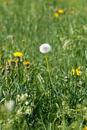 Blooming dandelions and blowball in the grass