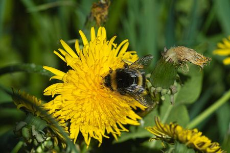 Bumblebee sits on the dandelion flower