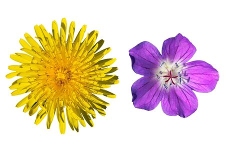 Close-up yellow and purple meadow flowers isolated on white background
