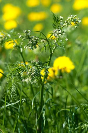 Blooming field herb. Wild flower close-up Stock Photo
