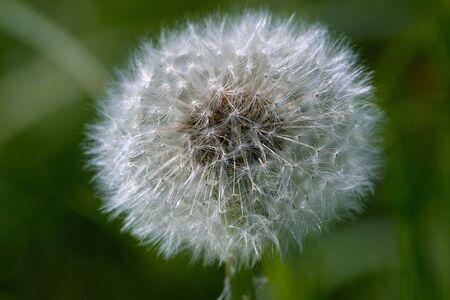Blowball. Dandelion head macro