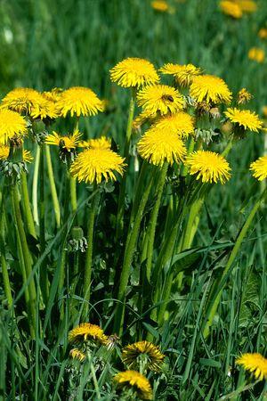Blooming dandelion bush close-up Stock Photo - 5030458
