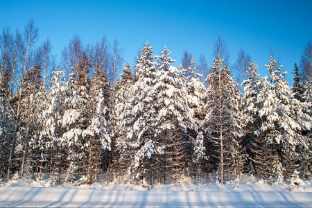 Spruces and birches covered with snow