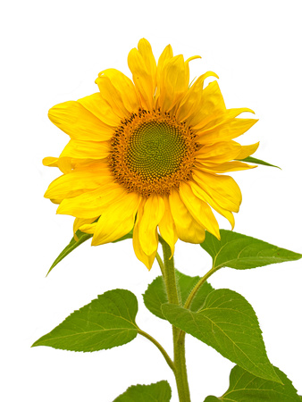 Sunflower isolated on a white background. Closeup front view Stock Photo