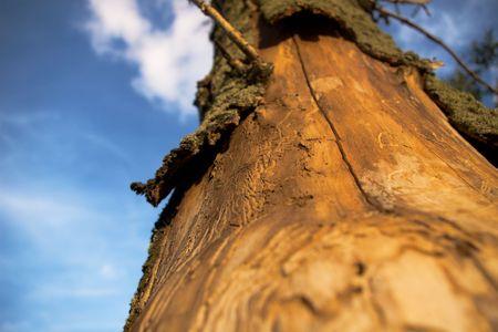 sean: albero ucciso dagli scarabei di corteccia Archivio Fotografico