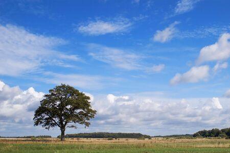 lonely oak in summer field Stock Photo