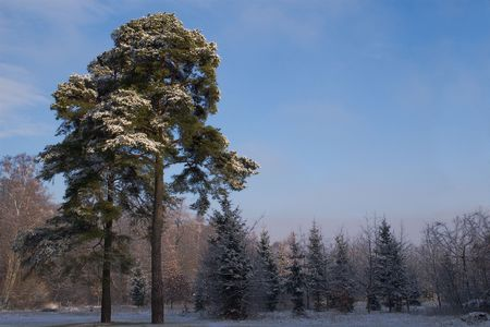 winter forest landscape photo