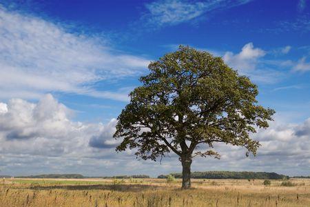 lonely oak in summer field under blue sky