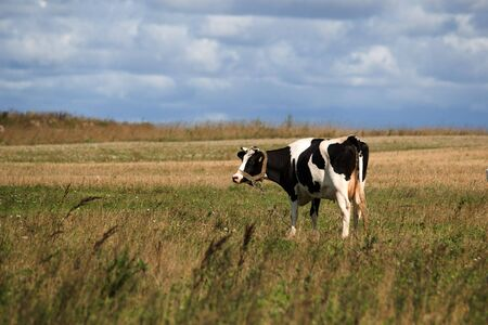cow on the pasture photo