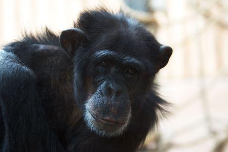 chimpanzee portrait photo