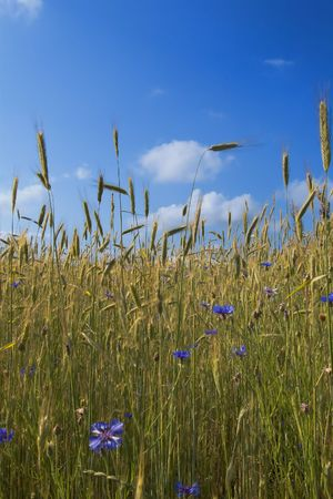 field of rye with cornflowers under blue skies photo