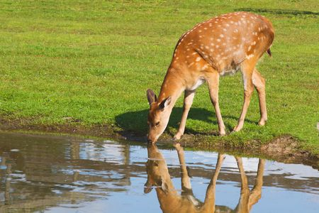 female deer drinking water from the pond on sunny day Stock Photo