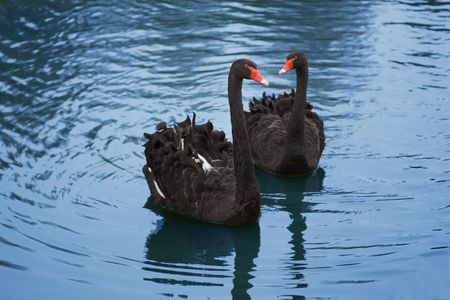pair of black swans in the blue pond photo