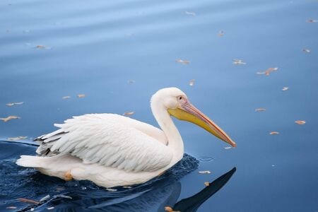 pelican in the  blue pond with autumn leaves photo