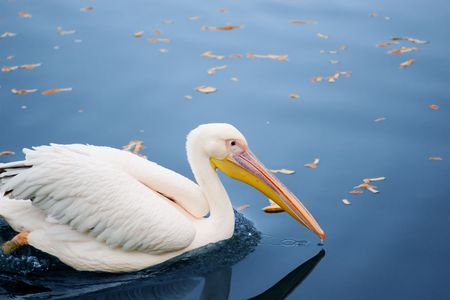 white pelican in the blue water autumn pond photo