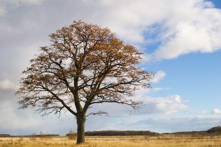 lonely oak in field late autumn