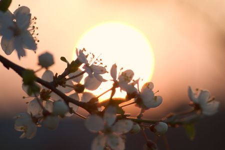 cherry-plum blossom in sunset light Stock Photo