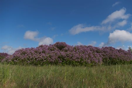splendid: blooming lilacl bushes under the blue sky