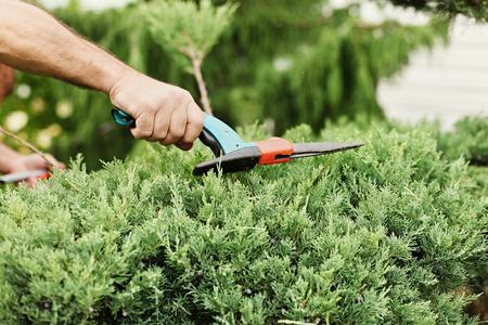 enebro: Cortar el enebro. Alguien recortar arbustos con tijeras de jardín. Vista de primer plano.