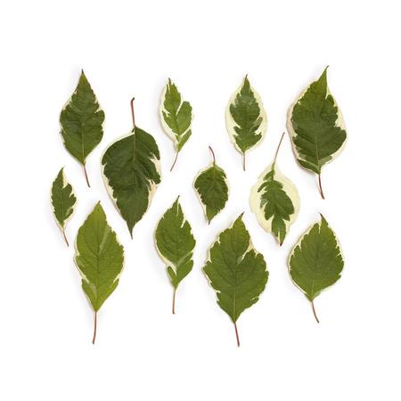 Creative arrangement of dogwood green leaves (cornus alba) on white background. Flat lay, top view.
