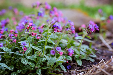Pink and blue flowers Unspotted lungwort or Suffolk lungwort in spring garden. Pulmonaria blooming.
