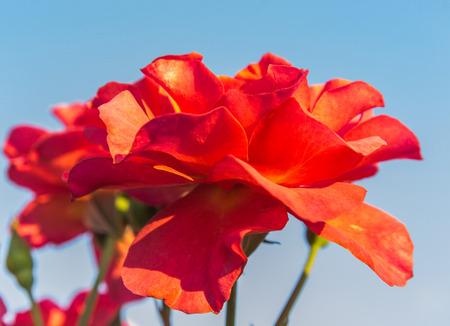daylight: Rose garden in the daylight.