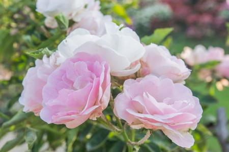 Giardino di rose alla luce del giorno.