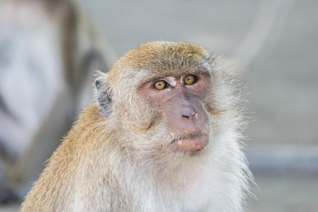 Macaque monkey in wildlife Thailand.