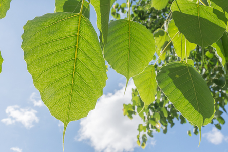 pipal: Green Bodhi leaves ,Pipal leaves, Bo leaves.