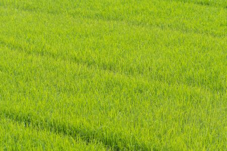 Rice Field In Thailand green rice farm, Green Background