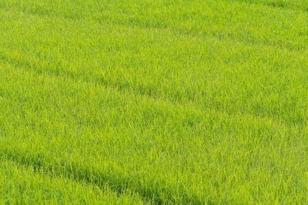 Champ de riz en Thaïlande ferme de riz vert, fond vert