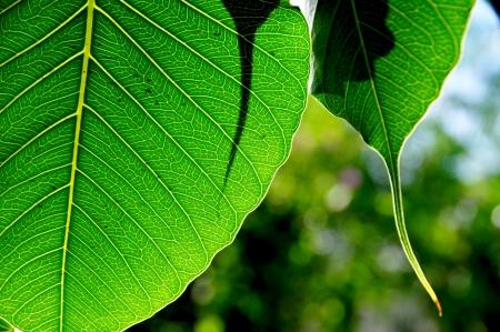 green leaf   bodhi leaf Stock Photo - 15587077