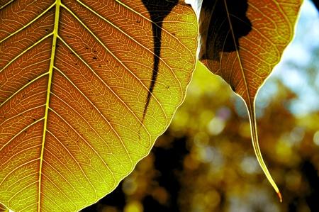 gold leaf   bodhi leaf